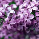 louloudia pasxa diakosmisi pink lilac flower background 160x160 - Πασχαλινή διακόσμηση : Πασχαλιά η μαγευτική…